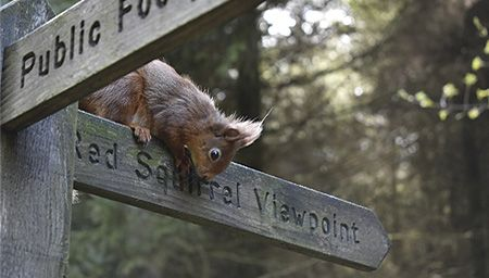"A red squirrel sitting on a sign saying ""red squirrel viewpoint"" in Yorkshire"