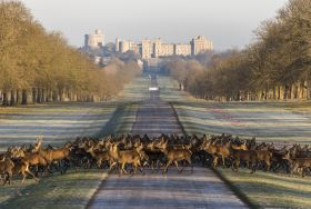 Deer in front of Windsor Castle