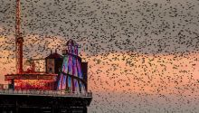 Large flock of birds at sunset near Palace Pier, Brighton, East Sussex, England.
