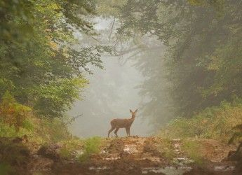 a stag in a forest