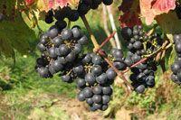 Black grapes in a garden